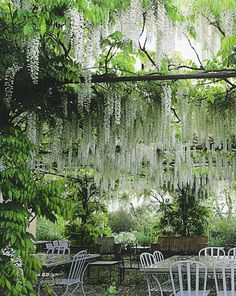White wisteria canopy -! ...looks like a cafe? I'd love to visit!