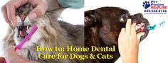 How to: Home Dental Care for Dogs & Cats  What if I told you there's one quick and easy thing you can do that could add several years to your pet's expected life span?  What if I told you this one thing could save you lots of money in future health care costs AND help keep your pet in tip-top health?  Would you be interested?  Read on to learn about the benefits of daily tooth brushing for dogs and cats!  http://www.petpoisonhelpline.com/uncategorized/home-dental-care-dogs-cats/