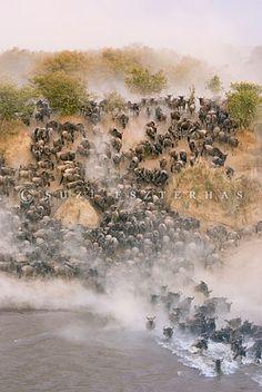 Wildebeest crossing the Mara River during dry season Maasai Mara Reserve, Kenya, photo by Suzi Eszterhas Photography Tours, Wildlife Photography, Animal Photography, Maasai People, Best Bucket List, Serengeti National Park, Game Reserve, African Countries, African Safari