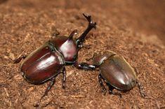 Kabutomusi - rhinoceros beetles (couple)