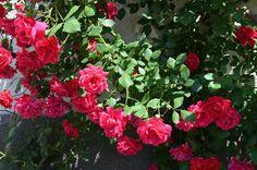 Piros rozsáim
