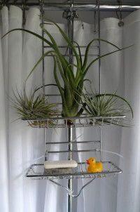 bromeliads in shower