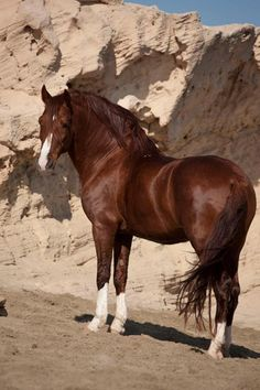 beautiful chestnut stallion