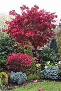 Acer palmatum 'Osakazuki' tree in autumn   by Four Seasons Garden