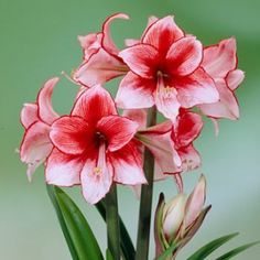 Charisma Amaryllis Bulb - American Meadows Ships mid-Oct for Xmas blooming
