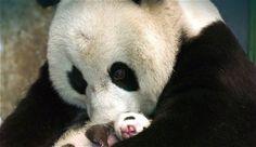 Tierna imagen osa panda con su bebe panda  [5-11-15]