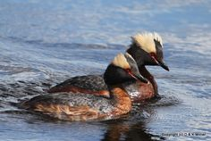Image of Horned Grebe from http://milnernaturescapes.ca