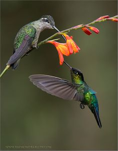 Fiery-throated and Magnificent Hummingbirds by zdalam