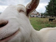 とあるヤギの笑顔image