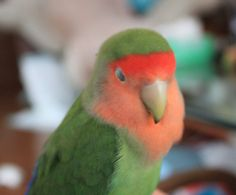 "My peach-faced lovebird - normal. ""I'm sleepy...."""