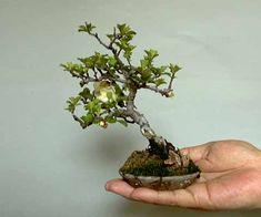 Mini Bonsai - White Flowering Quince. 13cm tall