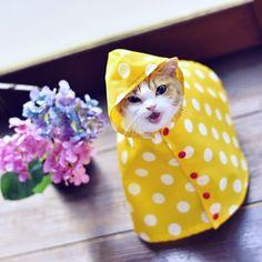 Neko Cat, Kawaii Cat, Crazy Cat Lady, Crazy Cats, Cute Baby Animals, Animals And Pets, Cute Cats, Funny Cats, Japanese Cat