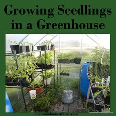 How to Grow Seedlings in a Greenhouse: watering methods, temperature control and using passive heat. ~Montana Homesteader