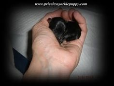 www.pricelessyorkiepuppy.com