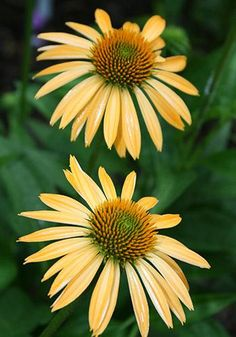 "Echnicaea, Matthew Saul. topped starting in July with lovely, 4"" wide, peachy-orange flowers surrounding an orange central cone atop 30"" tall stems...a fuel source for hummingbirds. Echinacea 'Matthew Saul' is a delightful new color break in the genus, not to mention lightly fragrant."