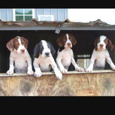 English Pointer Puppies Numark Kennels