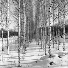 winter white, and birch trees