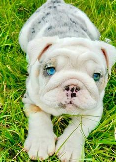 Look at how beautiful this English Bulldog Puppy's eyes are! www.bullymake.com