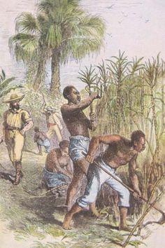Surinamese history: Slaves working on a sugarcane plantation.