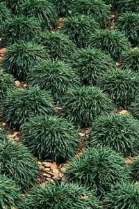 45 the Various Types Of Grass Available for Landscaping Mondo Grass Monkey Grass Ound the Two Trees In the Yard Edging Plants, Border Plants, Dwarf Mondo Grass, Monkey Grass, Types Of Grass, Easy Care Plants, Ground Cover Plants, Landscaping Plants, Landscaping Edging