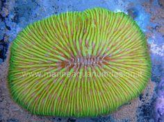 Fungia sp. - corallo LPS  dalla colorazine giallo fluorescente - per acquario marino tropicale http://www.marineaquariumdesign.it/