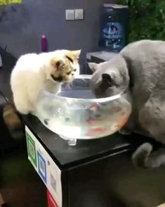 The Cat Loves To Play With The Aquarium Fish In The Aquarium.,Funny, Funny Categories Fuunyy The Cat Loves To Play With The Aquarium Fish In The Aquarium. Source by Jantoes. Funny Cute Cats, Cute Cats And Kittens, Cute Funny Animals, Cute Baby Animals, I Love Cats, Crazy Cats, Animals And Pets, Cute Dogs, Cat Vs Cat