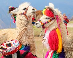 Do you know where in the world you can find llamas this stylish? how cute are they? Alpacas, Cute Creatures, Beautiful Creatures, Animals Beautiful, Animals And Pets, Baby Animals, Cute Animals, Peru Llama, Lama Animal
