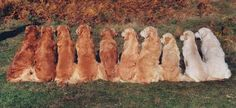 Shades of Goldens! Nugget's color would be fifth from the right! I used to be part of a Golden Group and the shades always fascinated me! Nugget's dad was color third in from right and her mom was third in from left ;)
