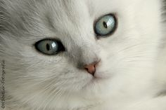 Brits Korthaar kitten   Dieren   Zoom.nl