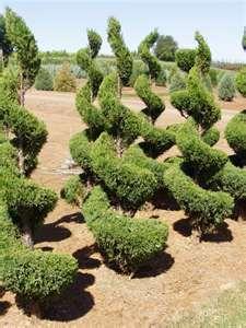 Juniper Topiary - 7' H, deer resist, Drought Tolerant, Need to see if full sun $90