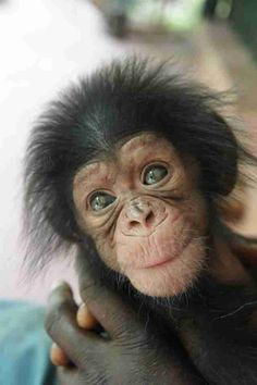 Baby chimpanzee makes new friends while waiting to reunite with mother . - nice baby chimpanzee makes new friends while he waits to reunite with mother - Cute Funny Animals, Cute Baby Animals, Animals And Pets, Baby Wild Animals, Monkeys Animals, Animals Planet, Small Animals, Animals Images, Primates