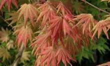 Autumn Moon #JapaneseMaple