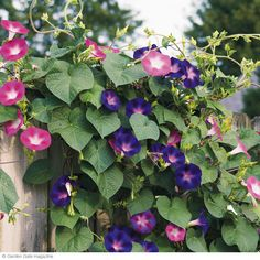 Morning glories for more blossoms, don't fertilize.  Fertilizer produces more foliage and less blossoms.