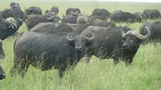 Buffels in Serengeti National Park Tanzania --reiservaring-- #Tanzania #Serengeti national Park #Buffels http://www.mambulu.com/over-ons/reiservaringen/474-esmee-natasha-rotterdam.html