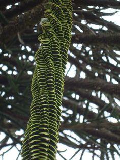 chilean monkey puzzle tree branch