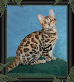 Bengal cats have the most beautiful markings.