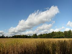 Soybean field, with cool clouds and sky, we grown a lot soybeans in Arkansas.