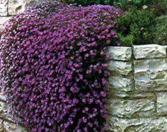 Fels kressesamen Kaskadierung lila 100 Aubrieta Samen STAUDE
