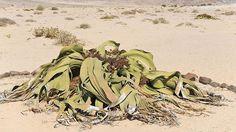 """Welwitschie-Ein Haufen verfaulter Blätter im Wüstensand? Das sieht man in Namibia anders. Hier wurde die Welwitschie sogar im nationalen Wappen verewigt. Die ausschließlich in der Wüste Namib vorkommende Pflanze hat nur ein einziges langes Blattpaar, kann aber über tausend Jahre alt werden. Deshalb wird sie im Afrikaans auch """"tweeblaarkanniedood"""" genannt – das bedeutet """"Zwei-Blatt-kann-nicht-sterben"""". Während die Blätter von hinten her weiterwachsen, sterben die Blattspitzen vorn in…"""