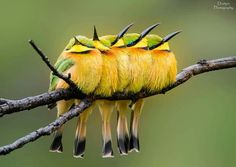 Little Bee-eaters (Merops pusillus) in South Africa by Dustin van Helsdingen.