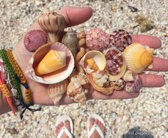 Fave Sanibel shells for the day in April