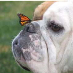 This reminds me of my bulldog Layla! I miss her!