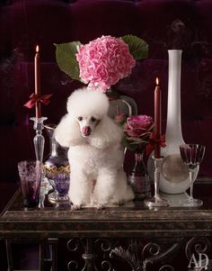 Princess Puppies, Dog Haircuts, French Poodles, Pet Beds, Girls Best Friend, Pet Portraits, Animals And Pets, Lily, Candles