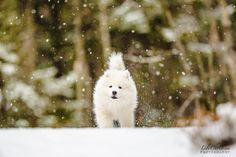 samojedinkoira, samojedi, koiranpentu, samojedin pentu, koirakuvaus, lilychristina photography, puppy, dog, white dog White Dogs, Husky, Puppies, Photography, Animals, Cubs, Photograph, Animales, Animaux