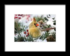 Snow Cardinal Framed Print By Christina Rollo