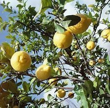 Lemon tree care
