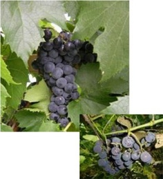 """Seedless Grape, St. Theresa:  """"Vitis 'Saint Theresa Seedless' Full sun, low to moderate water needs. Hardy, purple slip-skin grape with excellent flavor, ripening in early September. Considered a seedless variety but fruit may still contain a non-viable seed coat. (Just a little crunchy bit.) A table grape variety from Elmer Swenson's breeding trails in Wisconsin. Vigorous vine wonderful for arbors."""""""