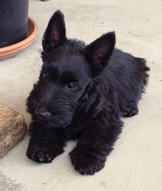 Notre! little Max 10 weeks Cute Puppies, Cute Dogs, Dogs And Puppies, Doggies, Cute Baby Animals, Animals And Pets, Cairns, Scottish Terrier Puppy, Fauna