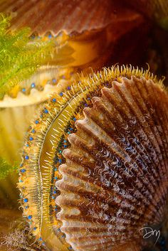 "Scallops with their blue eyes. ~ Miks' Pics ""Sea Life lll"" board @ http://www.pinterest.com/m"