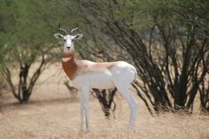 Dama gazelle (Nanger dama) side view, looking forward